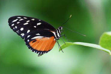 insetti in via di estinzione